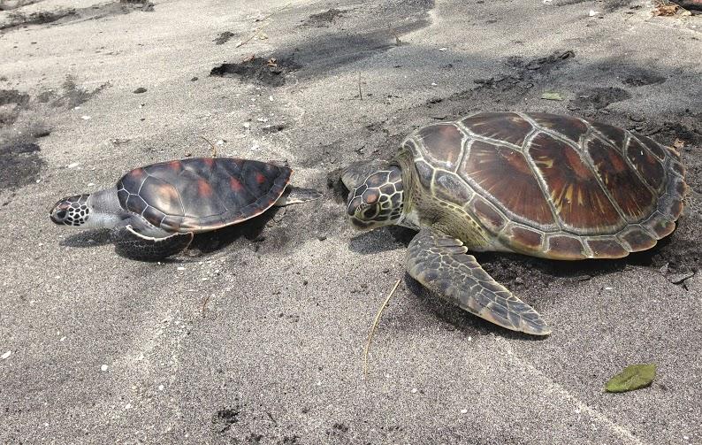 Bali turtle7