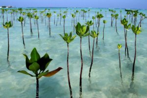 mangrove conservation programs