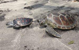 Bali turtle7 300x190 - Bali