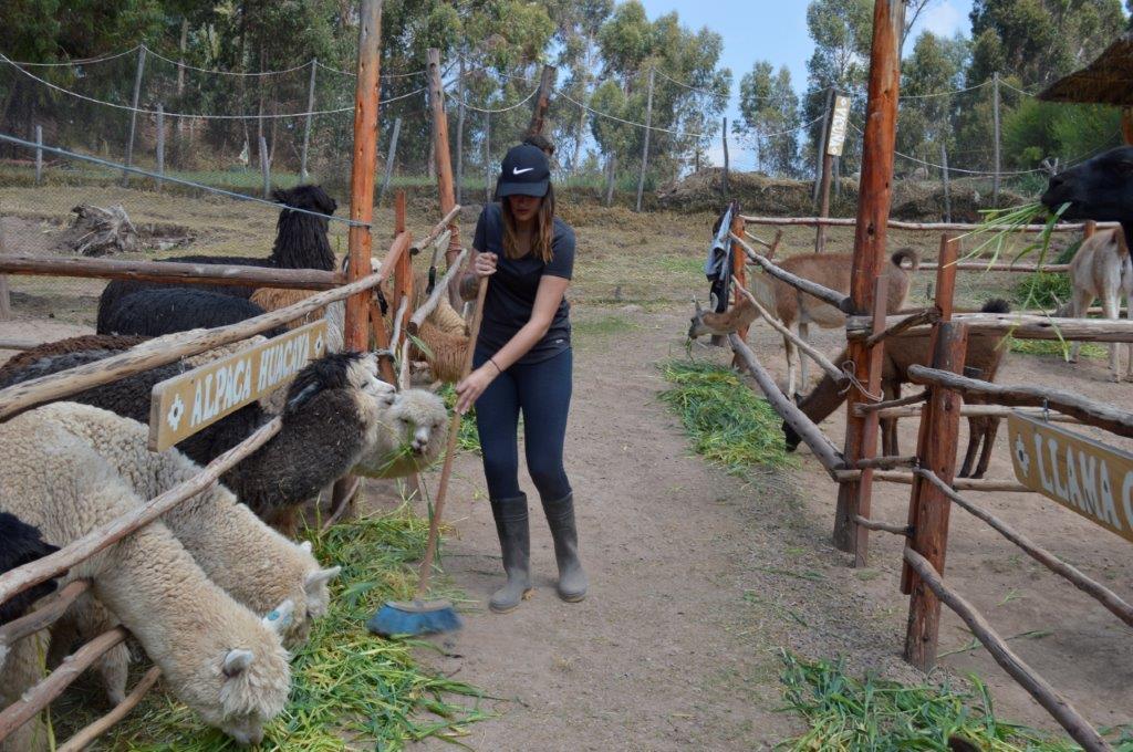 Alpaca farm Peru (1)