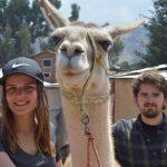 Alpaca and Llama Farm Peru