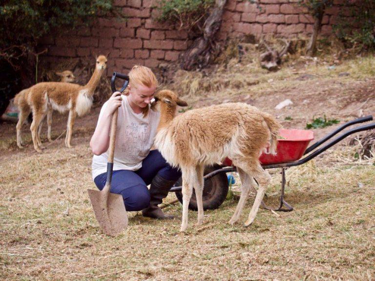 Alpaca farm Peru 3 768x576 - Alpaca and Llama Farm Peru