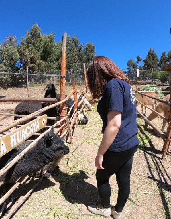 Alpaca farm Peru 6 600x768 - Review of Alpaca Farm in Peru!