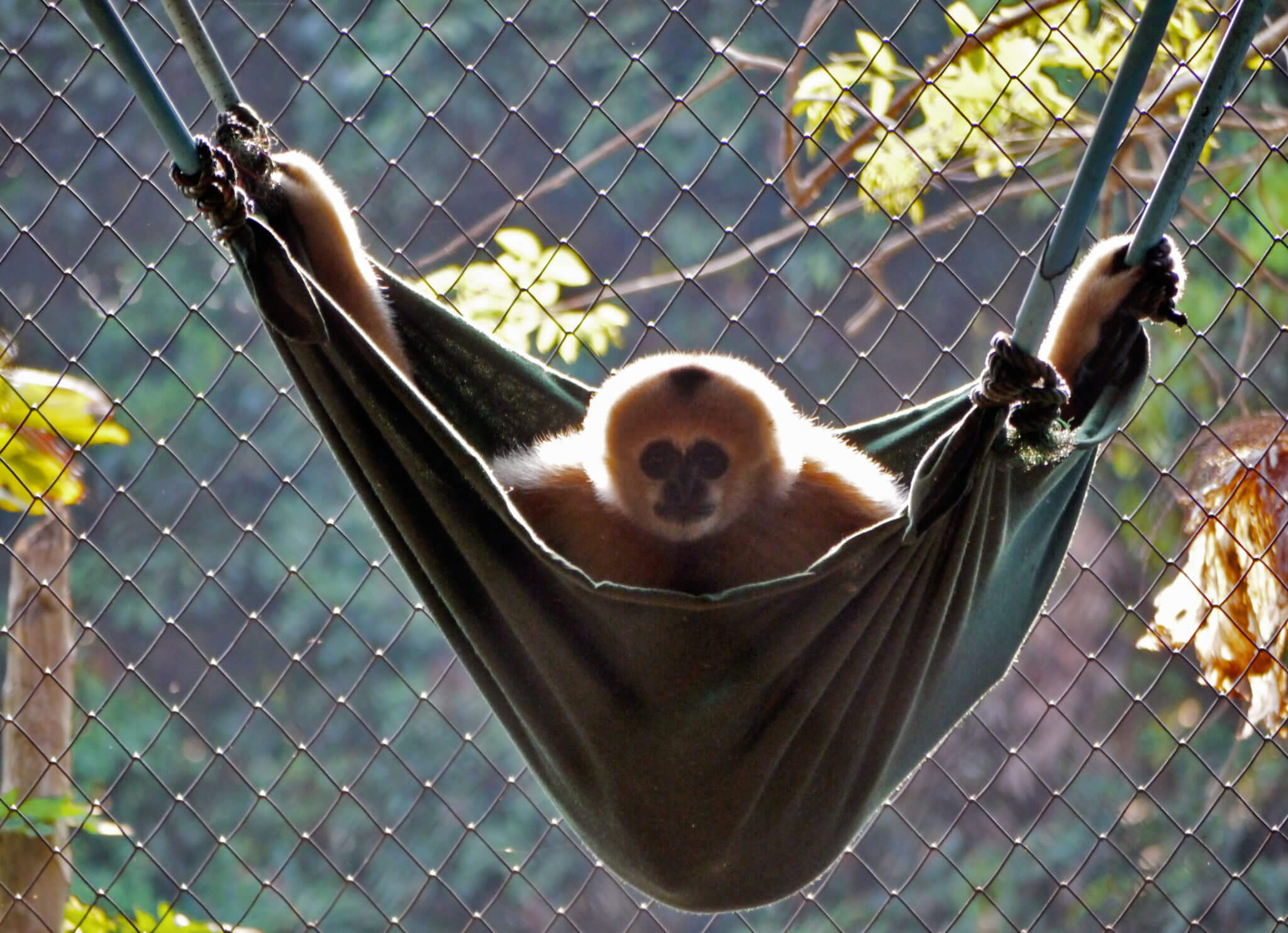gibbons hanging out and lounging about