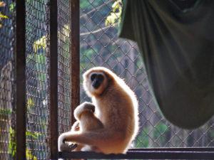 Gibbon rehabilitation program