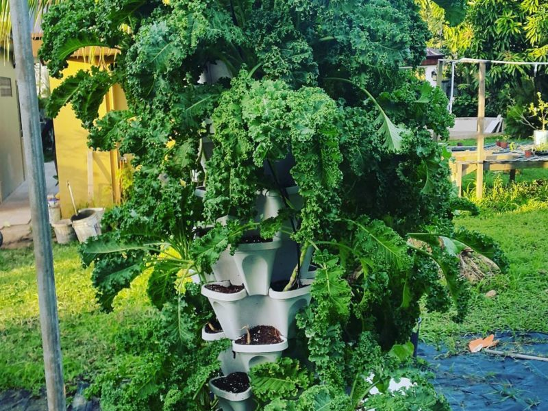 kale from hydroponic gardening project