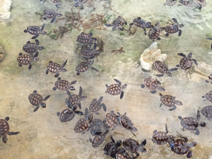 baby turtles swimming - Turtle Conservation Bali Review