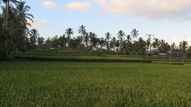 rice paddy field in ubud