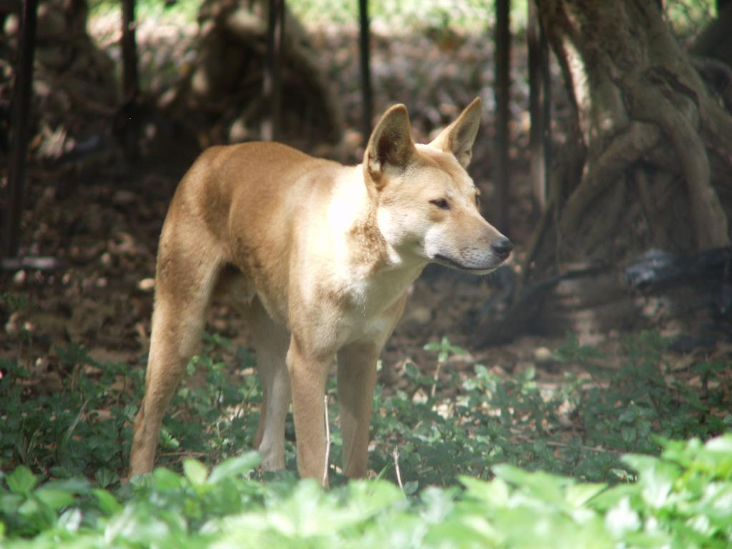 dingo at the zoo