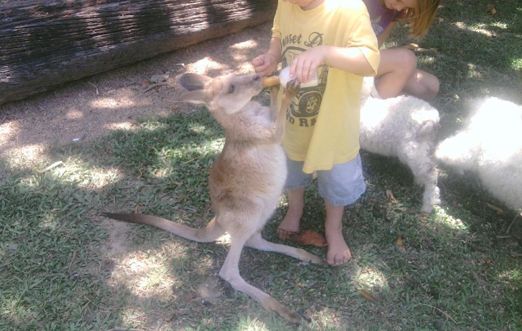 wallaby at the zoo