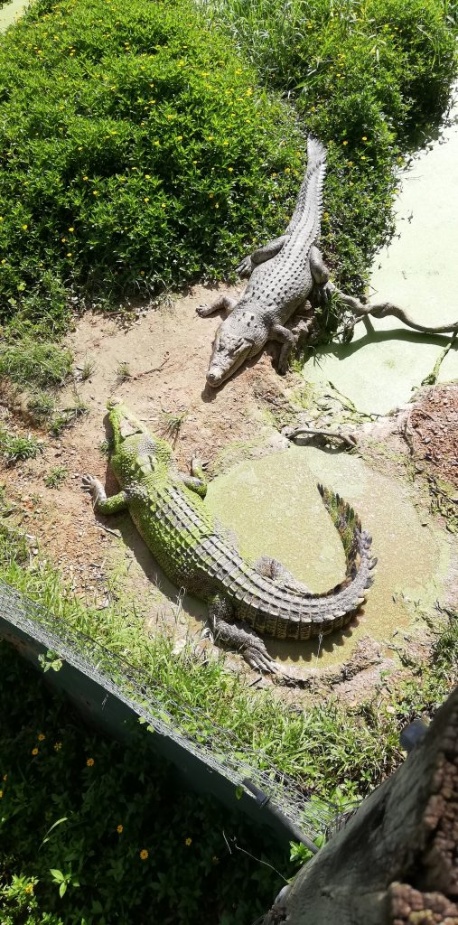 crocodiles at the daintree zoo 507x1024 - Australian Wildlife Sanctuary