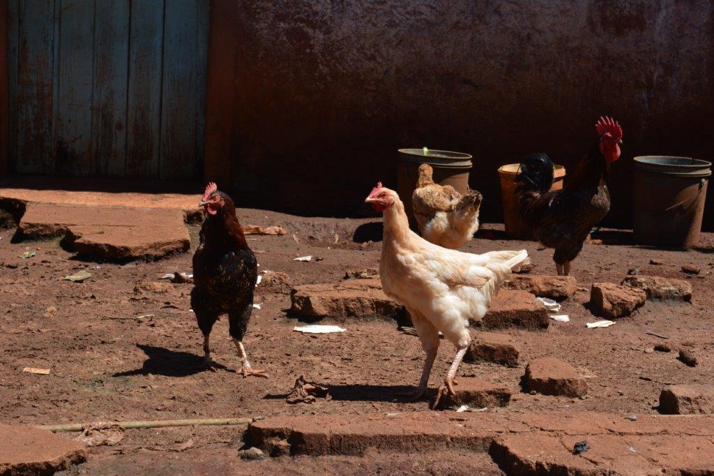 Gatanga Village - Chickens