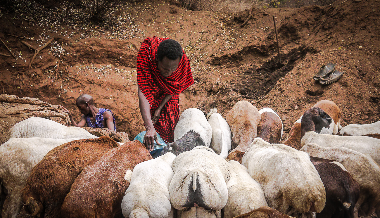 Maasai man attending to his herd