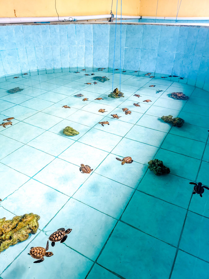 baby turtles in pool at nursery-