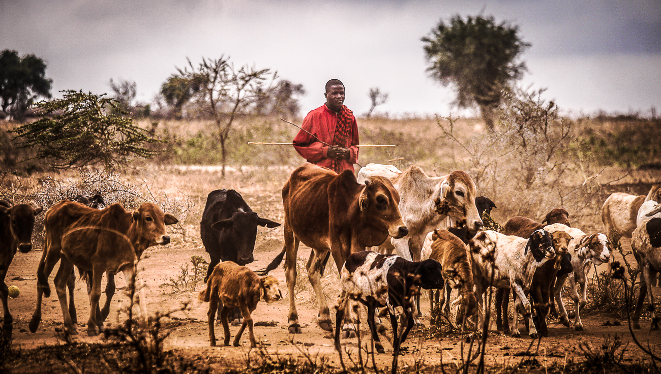 cattle in Tanzania
