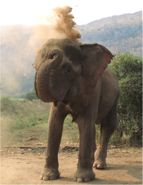 elephant blowing up dust from the ground