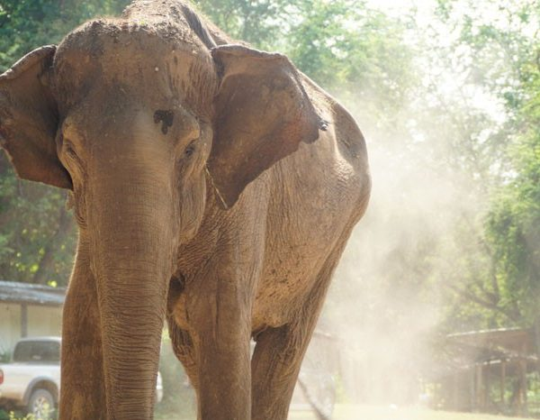 elephant in Thailand 600x466 - Meet the Elephants at the Elephant Conservation Adventure