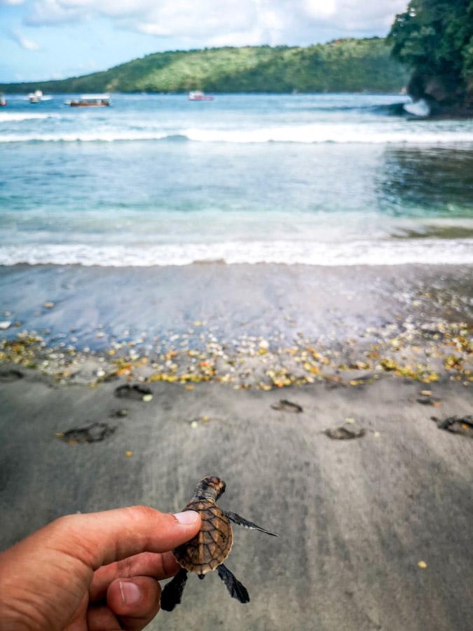 holding turtle hatchling-