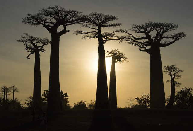 Check out the Baobabs