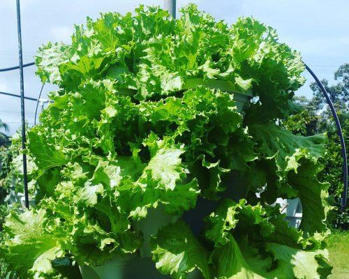 lettuce towers hydroponic fiji