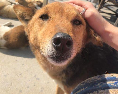 Stray dog rehabilitation volunteering IVI nepal