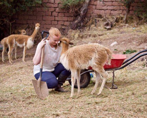 Alpaca farm Peru (3)