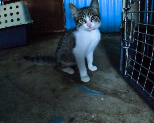 small cat at Fiji animal shelter