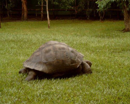 tortoise australia