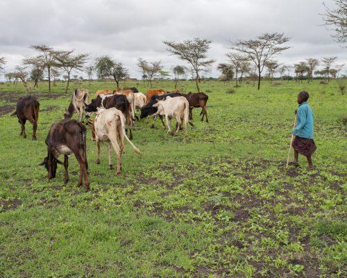 Maasai grazing their cattle (2)
