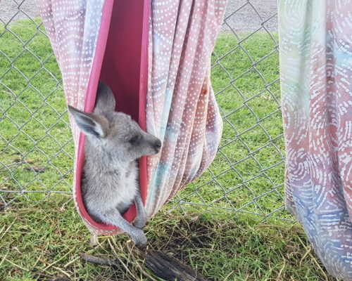 kangaroo in towel