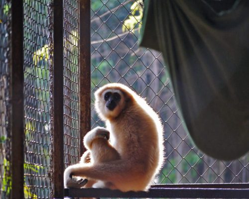Gibbon rehabilitation program