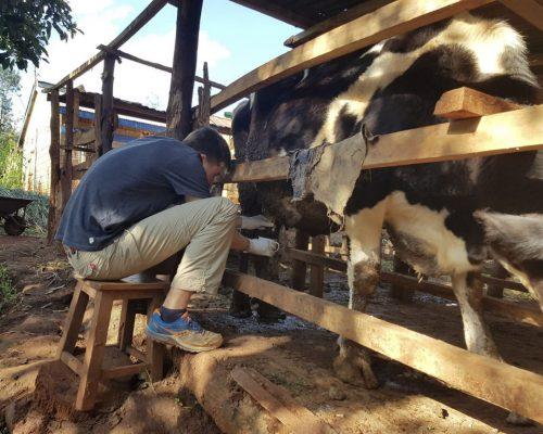 Participant milking a cow
