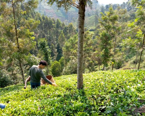 _Picking tea