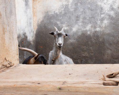 goat in Praia