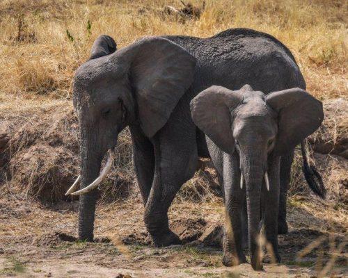 _Tarangire National Park - Elephants