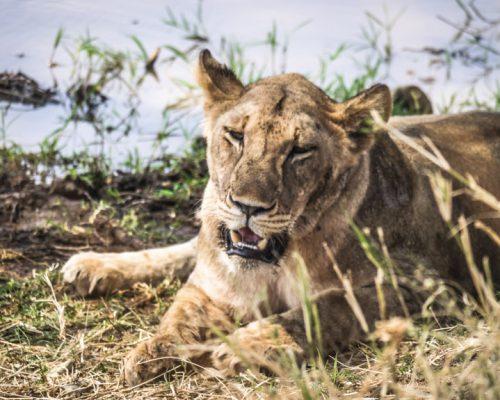 Tarangire National Park - Lioness