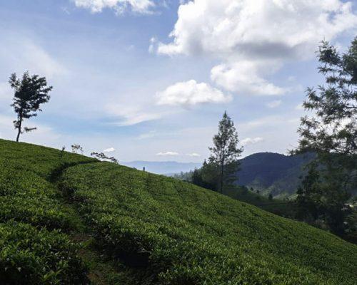 Tea planation Kandy