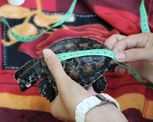 measuring turtle