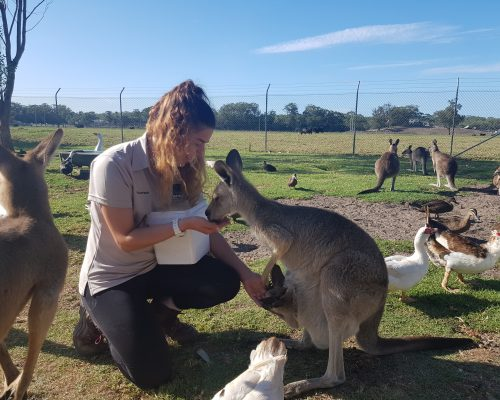 Volunteer feeding kangaroo australian zoo placement