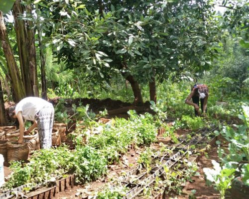 Weeding and mulching the vegetables (7)