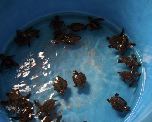 baby turtles in bucket