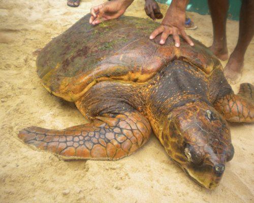 big turtle on Sri Lanka experience