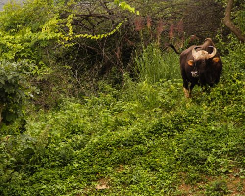 buffalo in the forest