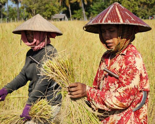 cambodia-farmers in rice fields