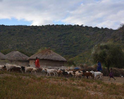 farmer with herd in Tanzania