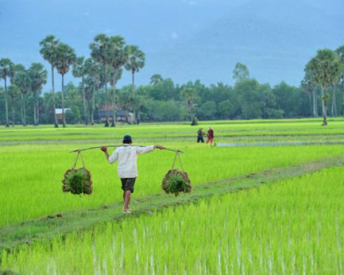 rice field farmer cambodia