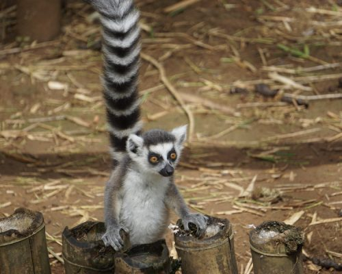 Madagascar - Lemurs Project