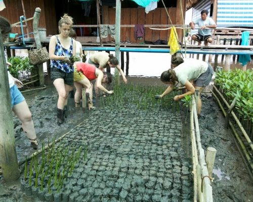 laying mangroves