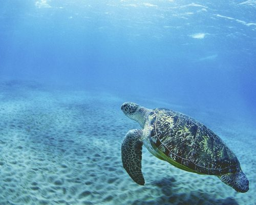 volunteer in bali with IVI turtle conservation