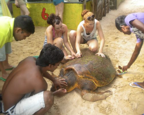 turtle conservation on 4 week experience